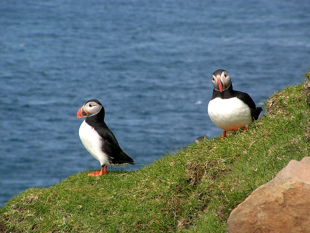 Faroe Islands Puffin